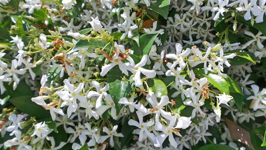 Beauty In Nature Blooming Blossom Botany Close-up Day Flower Flower Head Freshness Green Color Growing Growth In Bloom Jasmin Jasmine Jasmine Flower Leaf Nature Outdoors Petal Plant White White Color