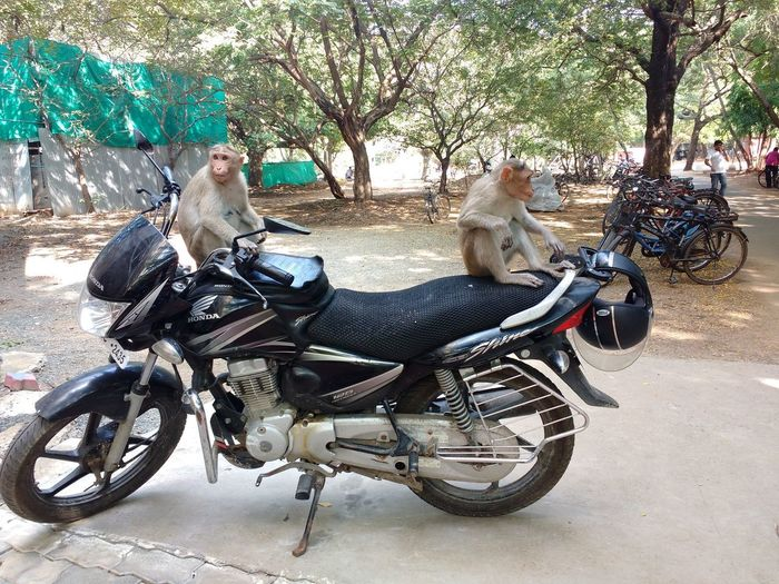 Funny monkeys on bike Bike Riding By Monkey FUNNY ANIMALS Funny Moments Funny Monkey Funny Monkey On Bi Funny Pictures Monkey Motorcycle