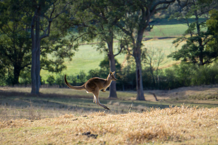 Kangroo in flight Australia Animal Animal Themes Animal Wildlife Animals In The Wild Day depth of field Forest Full Length Grass Herbivorous Jumping Kangaroo Land Landscape Mammal Nature No People One Animal Outdoors Plant Profile View Running Tree Vertebrate