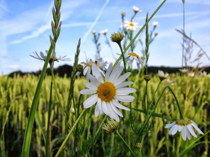 Summer Flower Margherite Makro