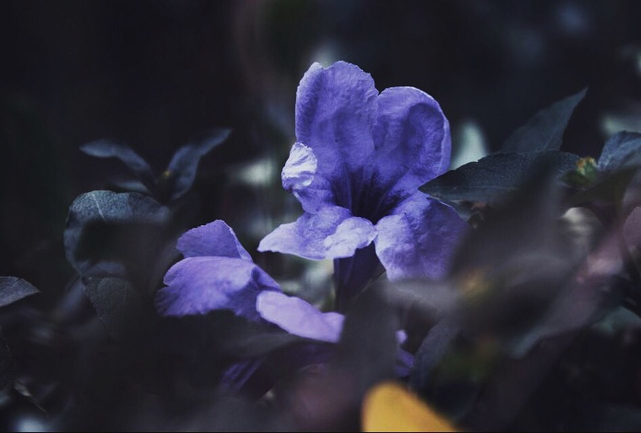 flower, nature, petal, beauty in nature, purple, fragility, plant, growth, freshness, no people, flower head, close-up, outdoors, day