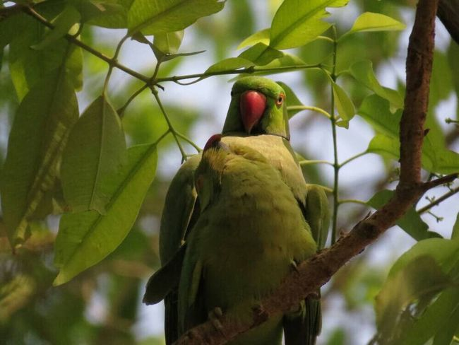 Place Of Heart Bird Animals In The Wild Animal Themes Perching Tree Animal Wildlife One Animal Green Color Branch Nature Low Angle View Day Leaf No People Outdoors Beauty In Nature Parrot Close-up Sky
