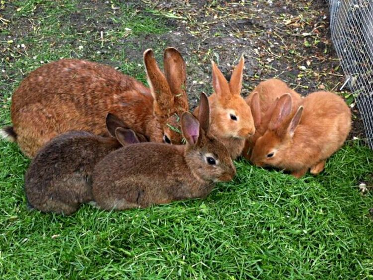 Grass Animal Themes Field Mammal Animals In The Wild Nature Day Outdoors No People Young Animal Rabbit Rabbits Lapin Brown Grass Herbe Eating