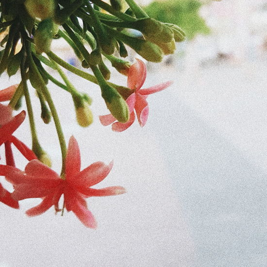 Hochiminhcity Samsung Galaxy S7 Edge NguyenHue Street Nguyenhuewalkingstreet Vintage Vscocam VSCO Red Textured  Abstract Close-up Pattern Ink Nature Flower No People Day Fragility Beauty EyeEmNewHere