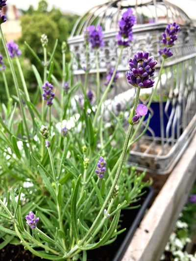 Lavendel Gardening In The City Urbangardening Urbanphotography Gardening Healthy Lifestyle Flower Plant Flowering Plant Fragility Vulnerability  Freshness Beauty In Nature Nature Green Color Flower Head Outdoors