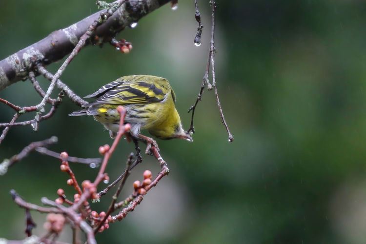 Taking a drink from nature's tap Animal Themes Animal Wildlife Animal Animals In The Wild One Animal Bird Vertebrate Focus On Foreground Branch Perching Tree Plant Nature No People Day Close-up Twig Beauty In Nature Outdoors Zoology