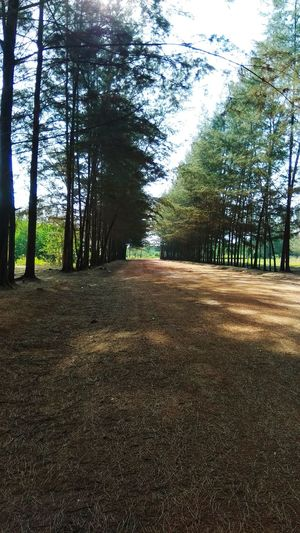 road n tree Background Pinus Tree Sky Agricultural Field