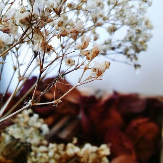Dried roses and babysbreath Photooftheday Emotional Photography Beautiful Roses EyeEm Gallery Babysbreath Babysbreathflower Dried Flowers Melancholy Blur