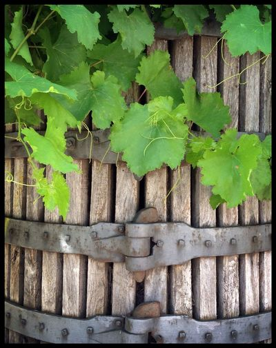 Oak wine press surrounded by grapevines, Corbera d'Ebre, Spain. Grapevine Leaf SPAIN Spanish Vineyards  Wine Winepress Winery Wines Wood - Material Wooden
