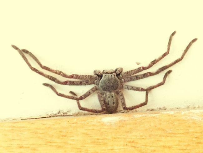 オーストラリアの蜘蛛 Spider