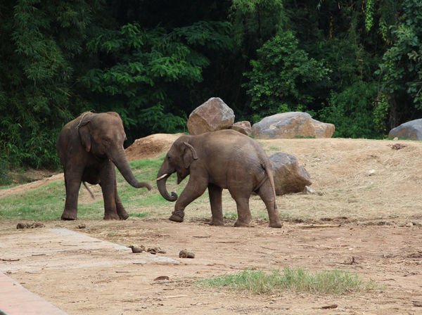 African Elephant Animal Animal Themes Baby Elephant Baby Elephants Playjng Day Elephant Horizontal Mammal Nature No People Outdoors Playing Elephants Playing With The Animals Togetherness Tree