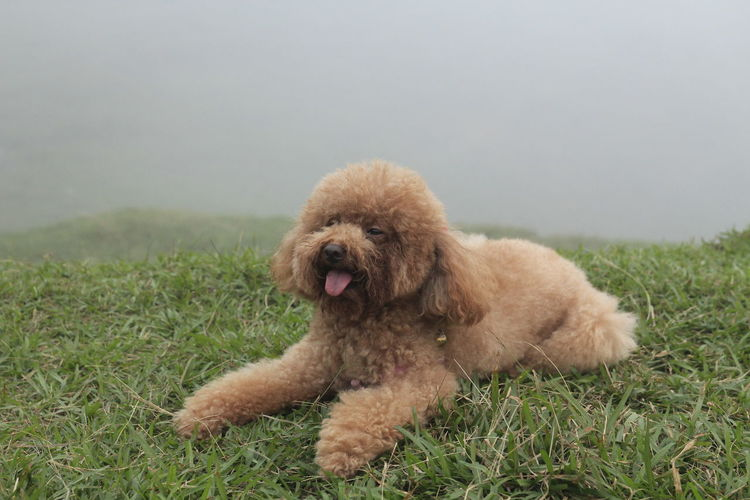 YangMingShan Yangmingshan National Park Foggy Foggy Morning Foggy Day Foggy Weather Relaxing One Animal Dog Canine Animal Themes Mammal Pets Grass Domestic Animal Domestic Animals Plant Brown Vertebrate No People Relaxation Poodle Nature Facial Expression Mouth Field Mouth Open Small Animal Head