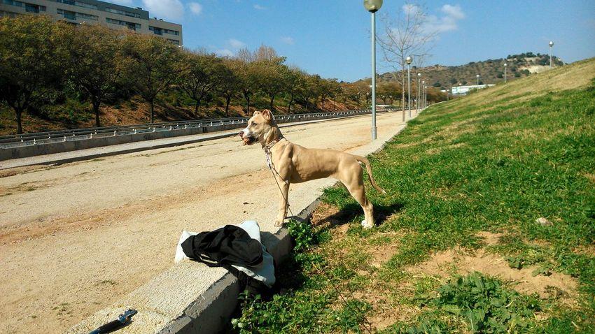 No puede a ver cosaa más bonitaa!! American Stanford  Perra Bonita Cachorro