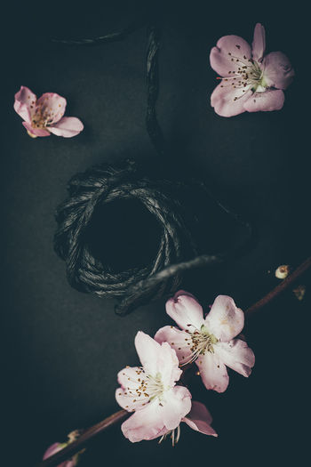 petals with cord Black Background Blossom Close-up Cord Flower Flowers Fragility Handicraft Indoors  LINE No People Petal Pink Color Spring Still Life