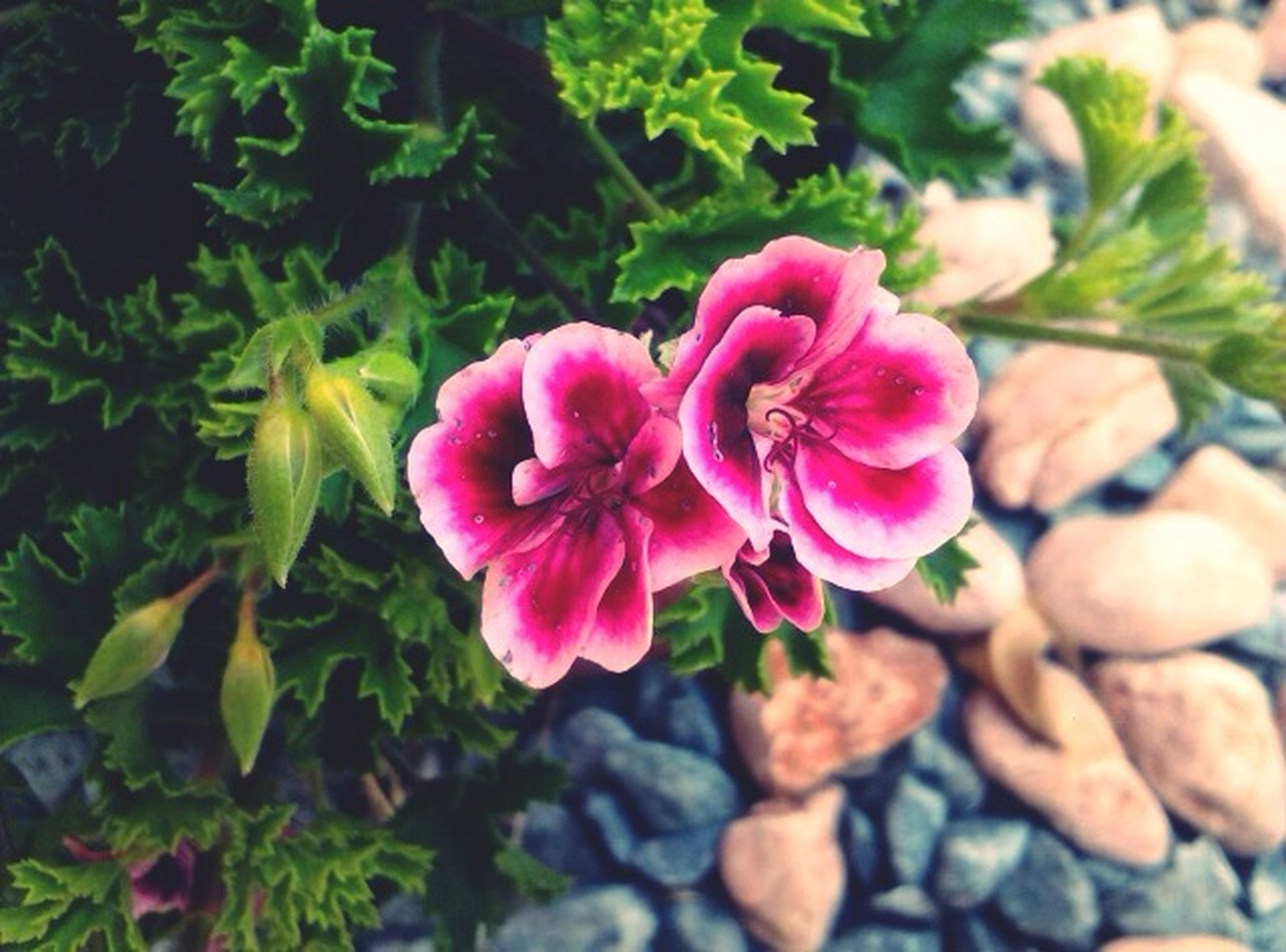 flower, freshness, growth, petal, fragility, pink color, flower head, beauty in nature, close-up, nature, plant, leaf, blooming, focus on foreground, in bloom, high angle view, single flower, outdoors, day, pink