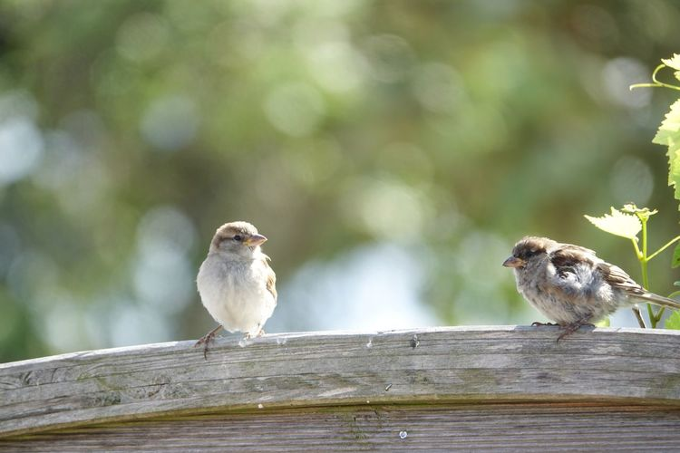 Cute baby sparrows sitting on the fence Summer Young Sparrow Baby Sparrow Baby Young Feathers Cute Plush Norderny EyeEm Selects Animal Themes Animal Bird Animal Wildlife Perching Group Of Animals Animals In The Wild Wood - Material Two Animals Focus On Foreground Tree No People Nature Sparrow Outdoors Selective Focus Close-up