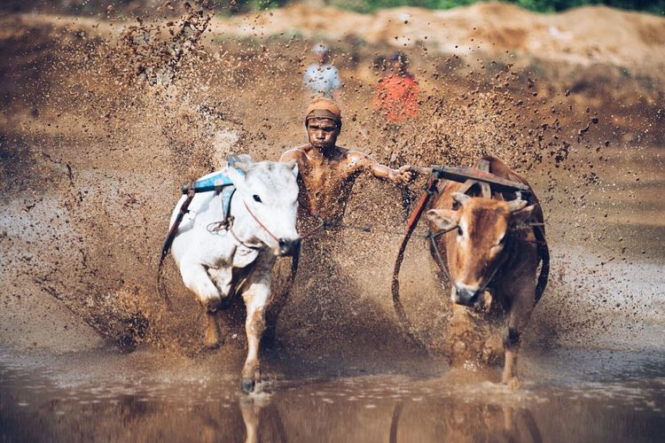 Animal Themes Mammal Outdoors No People Day Water Domestic Animals Pacu Jawi Sports Local Sports Padang, Indonesia Tradional Miles Away