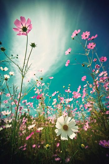Cosmos Flower Flower Growth Petal Nature Fragility Blooming Plant Freshness Flower Head Beauty In Nature Cosmos Flower No People Pink Color Outdoors Day Close-up Sky Periwinkle
