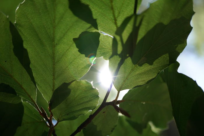 Leaf Green Color Nature No People Freshness Day Outdoors Close-up First Eyeem Photo Nofilter Macro Photography Macro World Beauty In Nature Plant Tree Nature Summer Sunlight Sun Sky Focus On Foreground Back Lit Forest Plant Part Sunbeam EyeEmNewHere