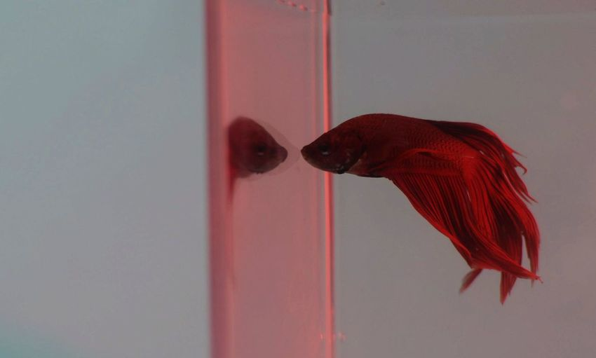 View of goldfish looking at reflection