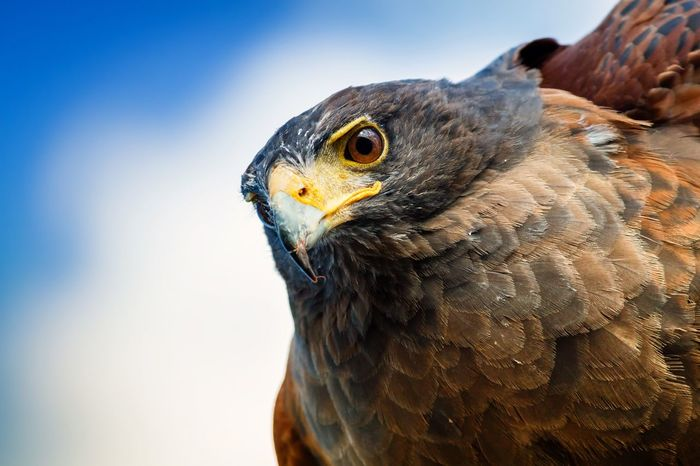 Harris Hawk, a favourite of falconers. This was a captive bird unlike my other photos. Birds Of Prey Bird Photography Falcon Hawk Wildlife Nature Peteevansphotography Canon