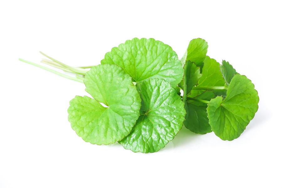 Closeup leaf of Gotu kola, Asiatic pennywort, Indian pennywort on white background, herb and medical concept, selective focus African Asian  Asiatic Pennywort Centella Eating Green Indian Medicine Natural Nature Plant Thailand Aging Anti Asiática Ayurveda Background Chinese Food Gotu Kola Healthy Eating Herbal Pennywort Vegetable White