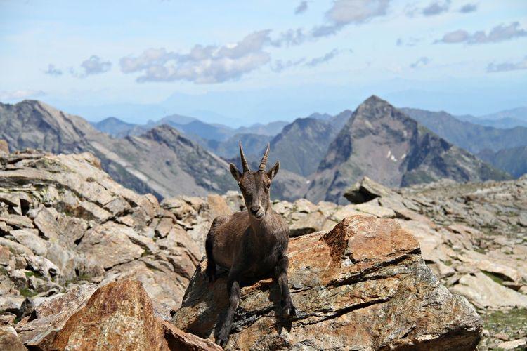 Alps Animal Themes Animal Wildlife Animals In The Wild Antler Beauty In Nature Day Giraffe Italianalps Mammal Monterosa Mountain Nature No People One Animal Outdoors Passodeisalati Scenics Sky Vald'aosta