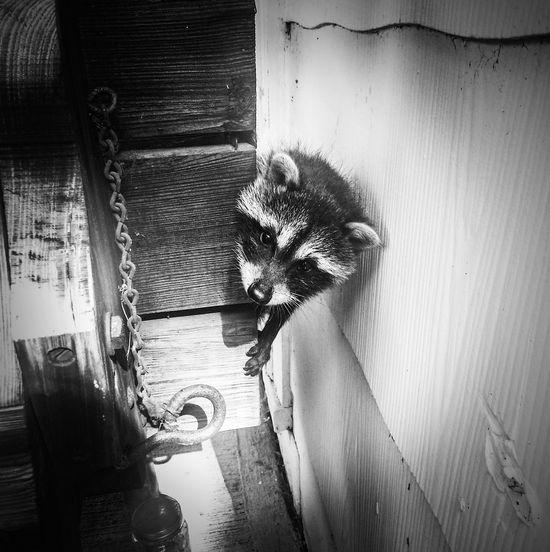 Close-up Black And White Photography Raccoon Raccoon Pets Raccoonlover Babyraccoon No People Animals Posing Orphan