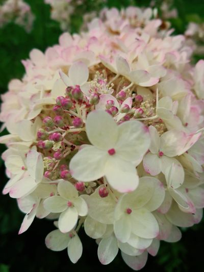 Lilac hydrangea Flower Nature No People Close-up Freshness