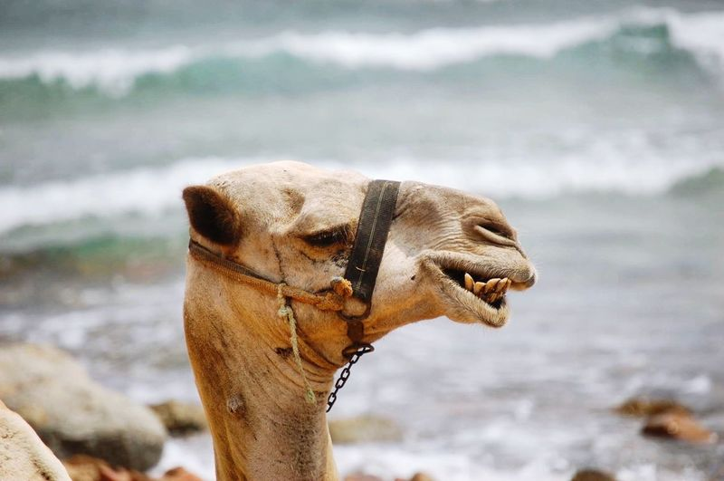 Funny Faces Funny Animals Africa Egypt Camel Trip Traveling Park Desert Camelride Vacation Nikon Photography Expression Photographer Teeth Smile Summer RedSea Desert Beauty Nature Nature_collection