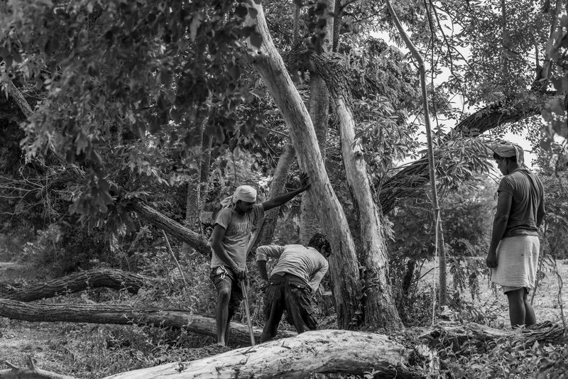 A tree being cut down by people for some fire woods. Cut Global Warming India Indian Killed Nature Tree Tree Trunk Black And White Disaster Environment Environmental Conservation Fell Down Firewood Gloomy Monochrome People