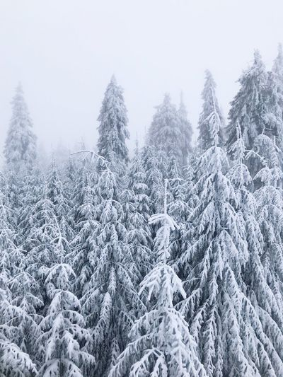 Snow Snow Cold Temperature Tree Winter Plant Beauty In Nature Scenics - Nature Forest Tranquil Scene White Color Tranquility Frozen Land Coniferous Tree Non-urban Scene Covering Nature Pine Tree No People WoodLand