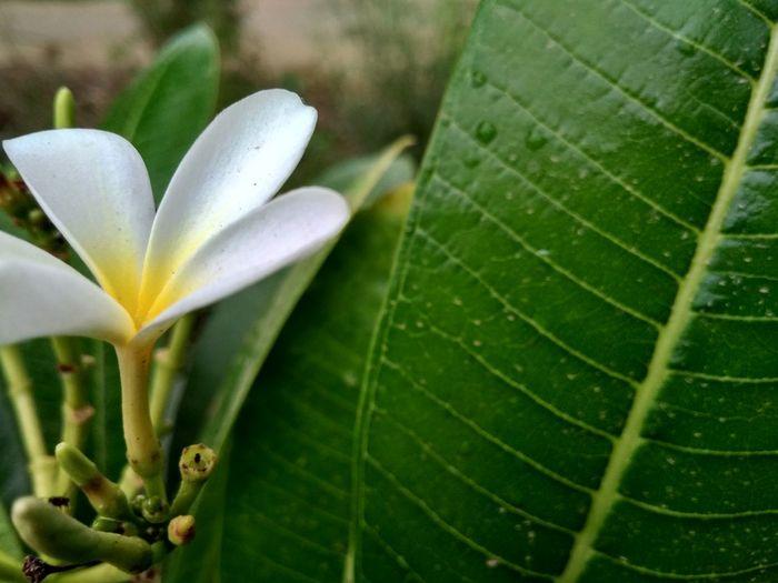Jesmine Flower