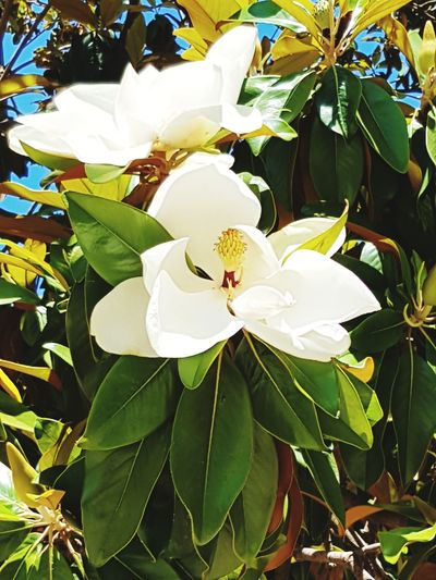 Plant Leaf Plant Part Flower Growth Flowering Plant Freshness Beauty In Nature Fragility Petal Close-up Flower Head Vulnerability  Nature Inflorescence White Color Green Color Pollen No People Blossom Magnolienblüte