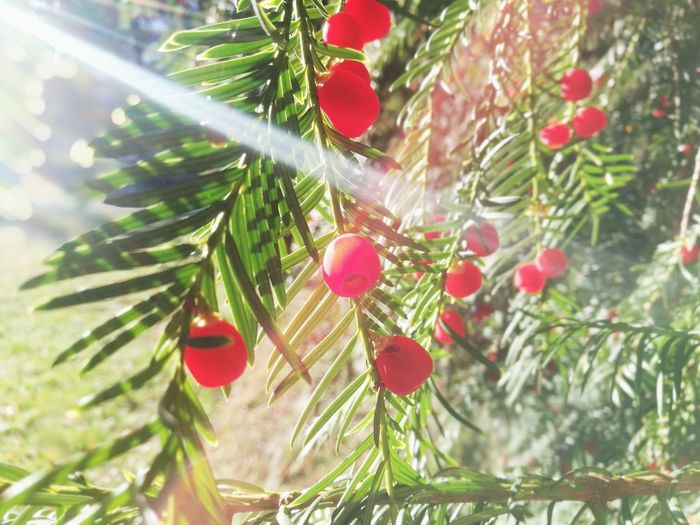 Yew berries in sunny October. Lensflare Bokeh Background Fall Yew Yew Berry Yew Berries October Toxic Yew Tree Sun Brightly Lit Bright Lensflare Sunny Day Sunny Tree Branch Red Needle - Plant Part Plant Life Coniferous Tree Evergreen Tree