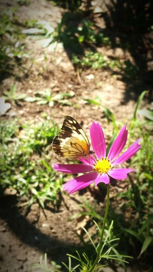 Butterfly feeding off Pink Cosmos Flower. Butterfly Flower Cosmos Flower Summer FlowerPink