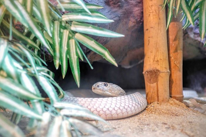snake in the zoo Snake King Cobra Zoo Exotic Pets Animal Scale