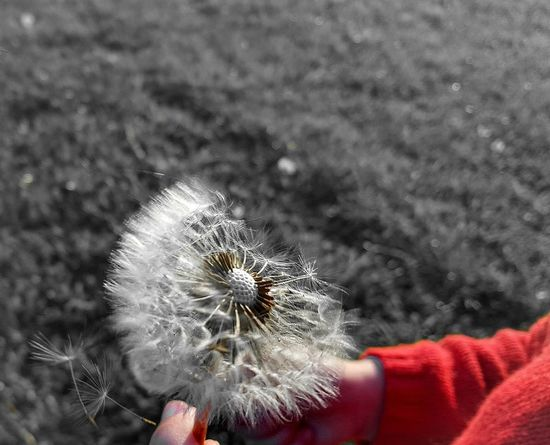 Dandelion Seeds Walking Around Hi! Daughter English Countryside Relaxing Taking Pictures Kingston Upon Hull Grass Family Time Grassland Taking Photos Hull Check This Out Eyeemphotography Havingfun Goingforawalk Childsplay Childs Hand Enjoying Life Nature Nature Photography Hello World