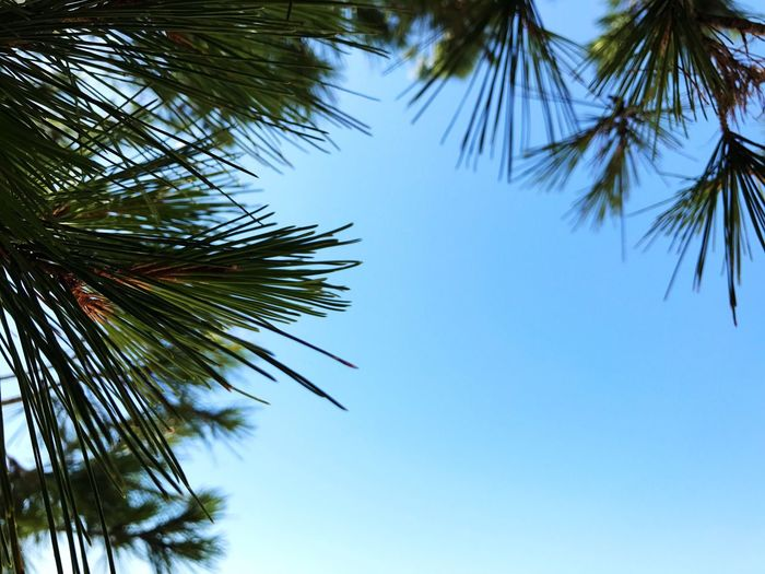 Tree Sky Low Angle View Palm Tree Plant Growth Tropical Climate Clear Sky Beauty In Nature Nature No People Day Palm Leaf Leaf Tranquility Blue Outdoors Green Color Plant Part Sunlight