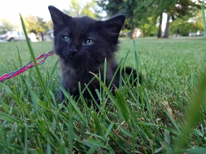 Kitten Grass Chillin' One Animal Black Color Domestic Animals Pets Outdoors Mammal No People Close-up Portrait Nature Day