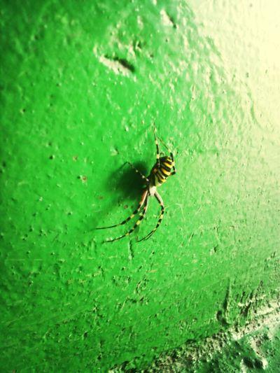 New pet Spider Vapsvavoris Stripes Yellow First Eyeem Photo