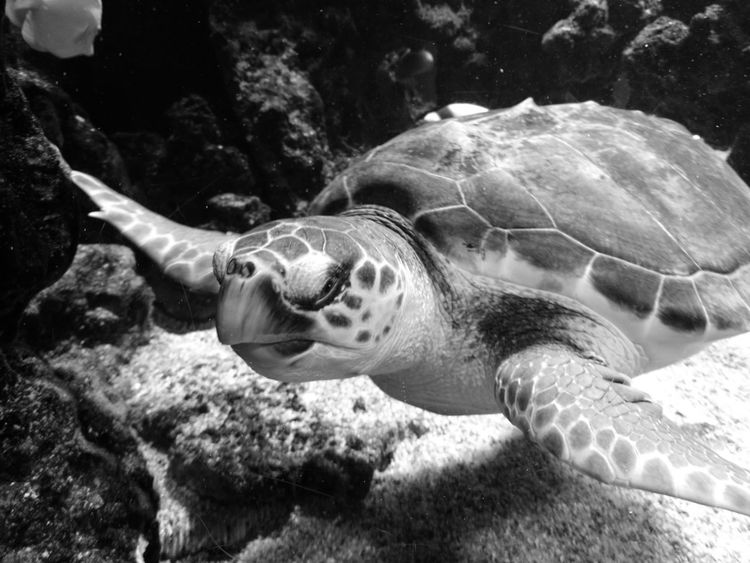 Animal Themes Animals In The Wild Underwater One Animal Animal Wildlife UnderSea Swimming Nature Sea Life No People Reptile Water Beauty In Nature Day Sea Turtle Outdoors Mammal
