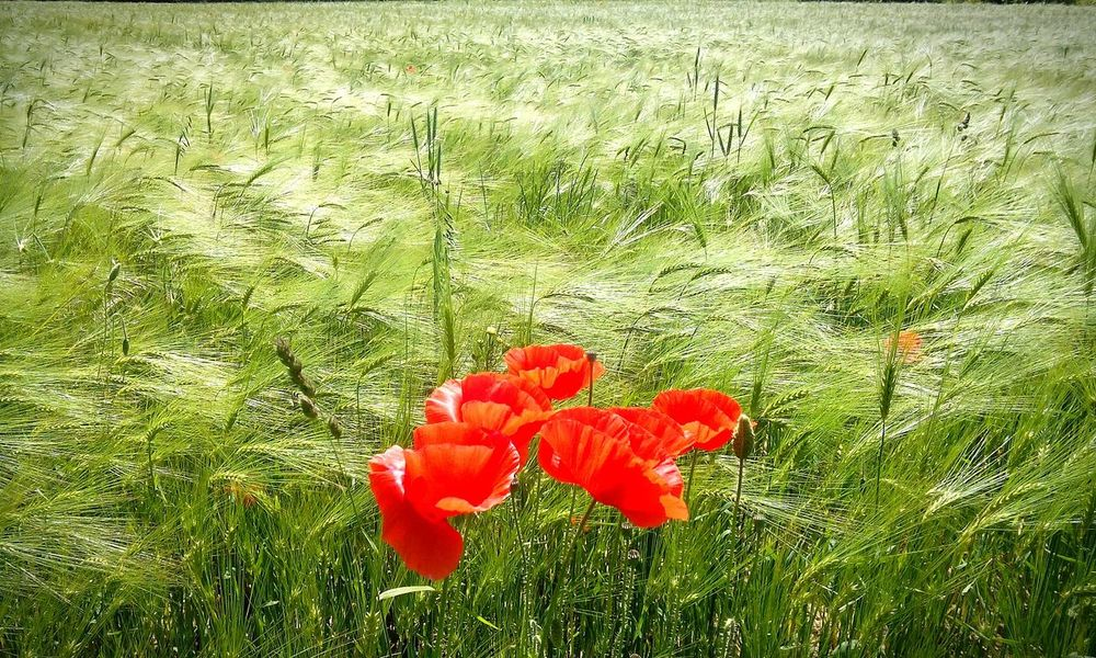 Poppy Poppy Flowers Wheat Field Sunshine Happiness Nature_collection Colors Of Nature Hungary Barley Pipacs Arpa