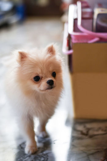 Light brown Pomeranian puppy looking to the right with soft focus background in marble floor room Domestic Pets One Animal Mammal Domestic Animals Dog Canine Animal Themes Animal Small Lap Dog No People Focus On Foreground Pomeranian Portrait Looking At Camera Cute Young Animal Vertebrate Full Length Chihuahua - Dog Pomeranian Puppy Doggy Adorable Happy Bokeh Looking Light And Shadow Brown Fluffy Blurred Background Standing