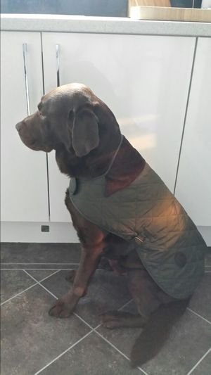 I Love My Dog Cute Dog  Barbour charlie with his new barbour jacket