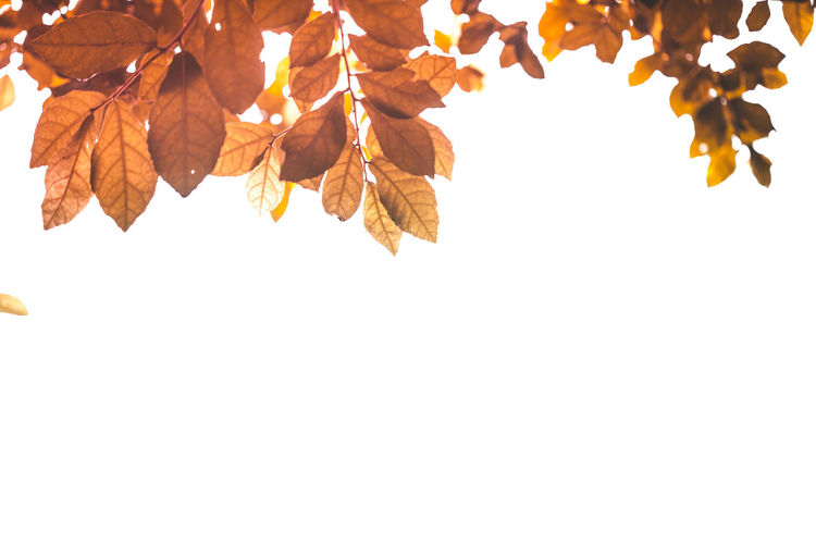 Low angle view of autumnal leaves against white background