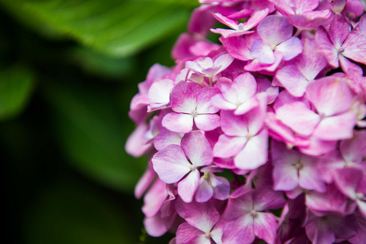 Close-up of pink hydrangea blooming outdoors
