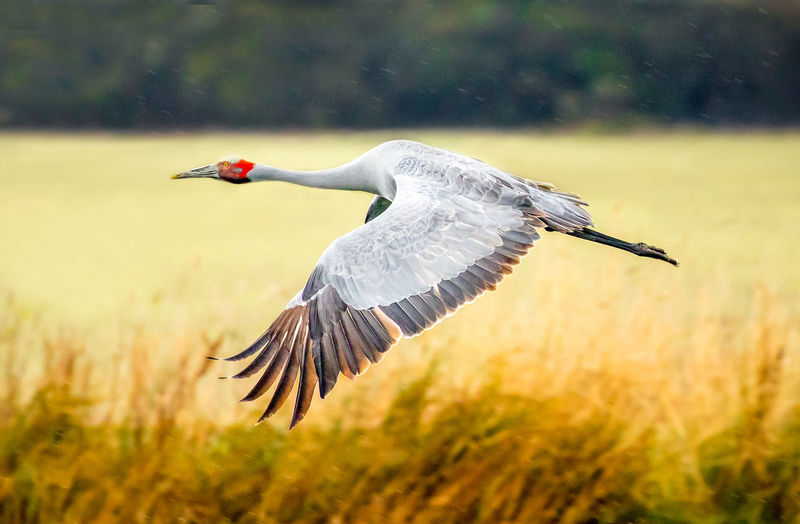 View of eurasian crane flying with spread wings