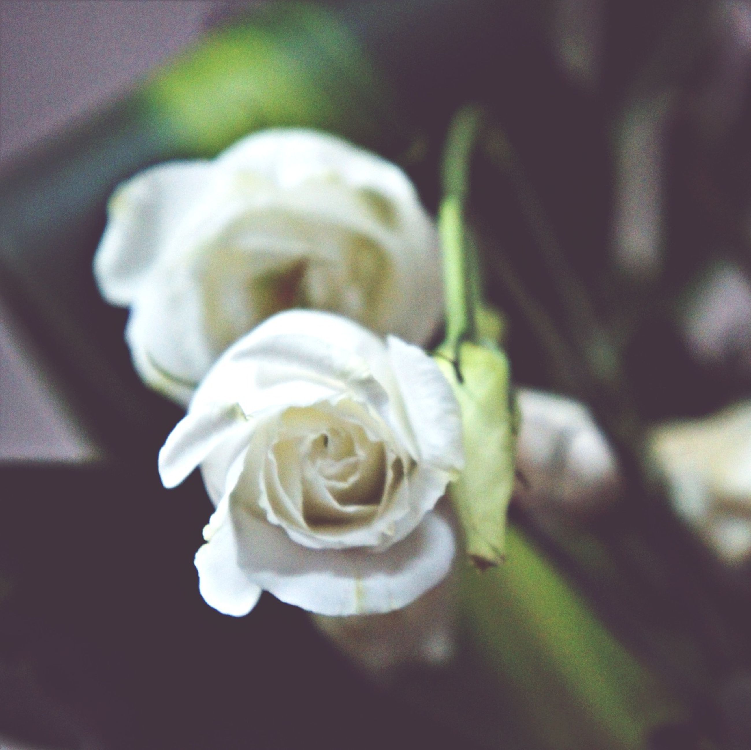 flower, petal, rose - flower, fragility, flower head, freshness, close-up, beauty in nature, growth, white color, focus on foreground, rose, nature, indoors, blooming, plant, single flower, in bloom, selective focus, blossom