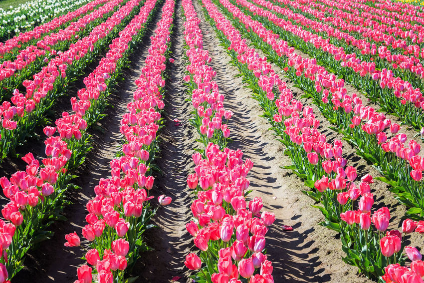 Rows of pink tulips in Woodburn, Oregon Blue Colorful Field Flower Flower Head Flowers Green Green Color Landscape Nature Northwest Oregon Pacific Northwest  Pink Purple Red Rows Of Flowers Tourism Travel Travel Destinations Tulip Tulips USA White Woodburn